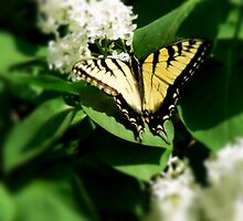 Tiger Swallowtail on Lilacs by Hope Ledebur