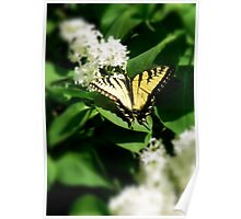 Tiger Swallowtail on Lilacs Poster