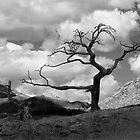 The Burmis Tree by Kerri Gallagher