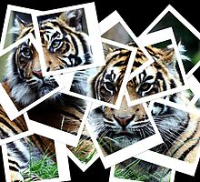 Polaroids of Tigers by Wayne Gerard Trotman