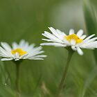 Daisy, Daisy by JohnBuchanan