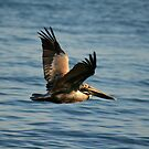 pelican by Kent Tisher