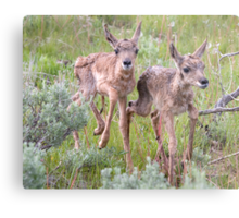 Pronghorn Twins Romping Metal Print