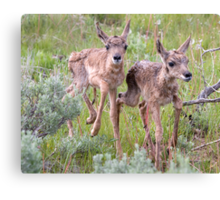 Pronghorn Twins Romping Canvas Print
