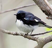Black Throated Blue Warbler by lloydsjourney