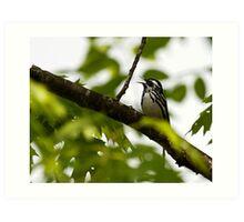 Singing B&W Wood Warbler Art Print
