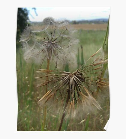 Salsify in Field Poster