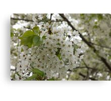 Springtime Dreams - Masses of White Blossoms Canvas Print