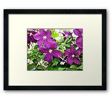 Purple Clematis 3 Framed Print
