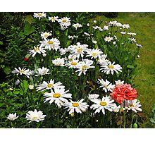 Shasta daisies 2 Photographic Print