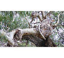 bulls head in tree trunk Photographic Print