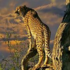Cheetah by Mark Maloney