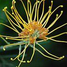 golden grevillea by feeee