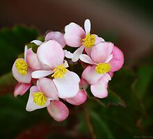 portrait of a begonia by Andrea Rapisarda