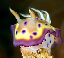 Kunes Chromodoris (Nudibranch) by MattTworkowski