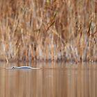 Platypus by Adam Wightman