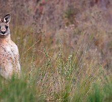 Kangaroo by Adam Wightman