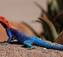Showing Off - Agama by Ann  Van Breemen