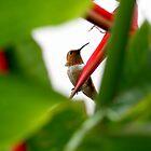 Heliconia Hummer by DARRIN ALDRIDGE