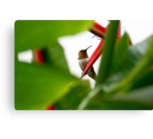 Heliconia Hummer Canvas Print