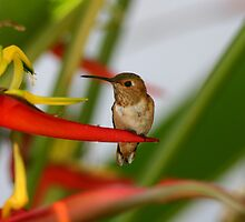 Red Heliconia Hummingbird by DARRIN ALDRIDGE