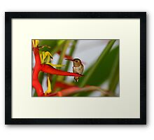 Red Heliconia Hummingbird Framed Print