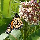 Monarch on Milkweed by Dave & Trena Puckett