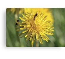 Ants Collecting Pollen Canvas Print