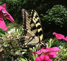 Yellow Swallowtail..... swallowing!   by maxy