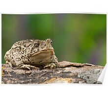 Woodhouse's Toad  Poster