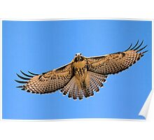 0627093 Red Tailed Hawk (Juvenile) Poster