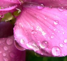 Native Plant Pea flower  Raindrops  by Virginia McGowan