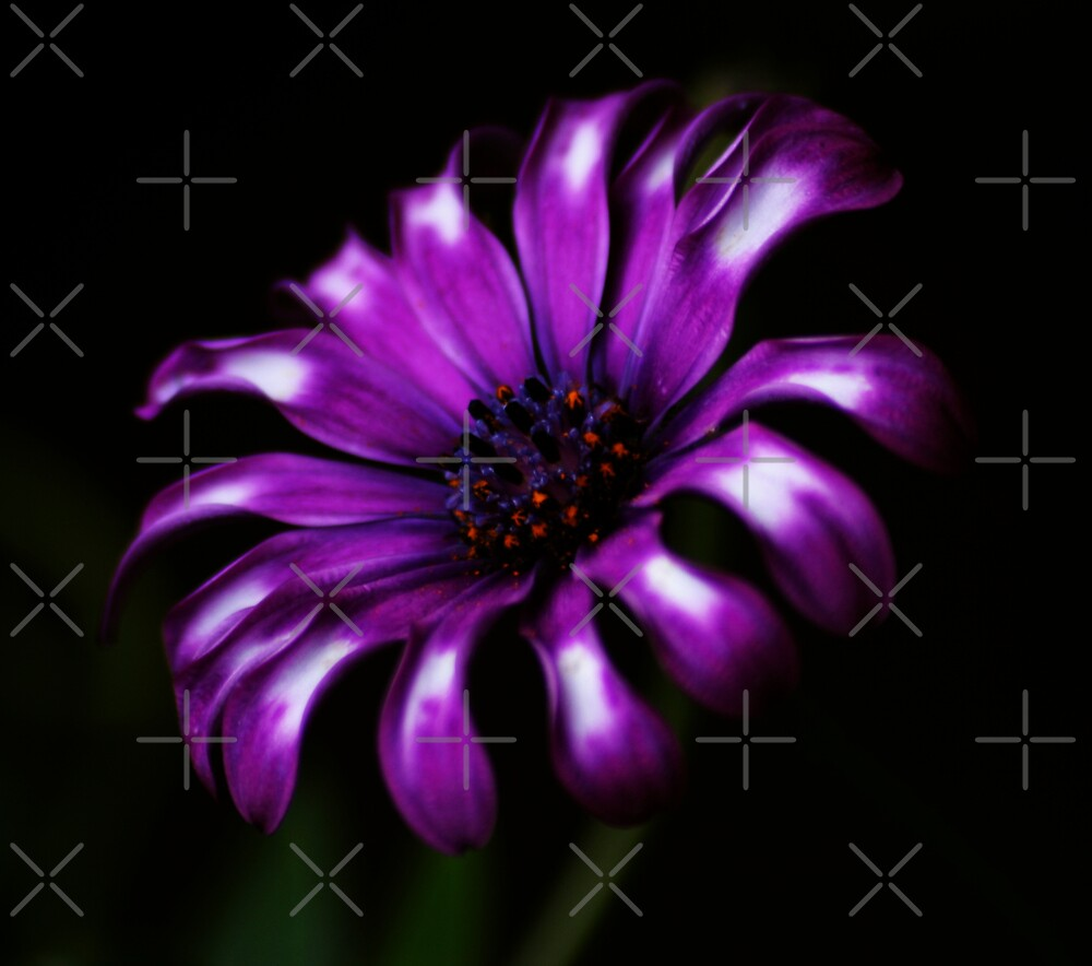 Purple Passion by Ingrid Beddoes