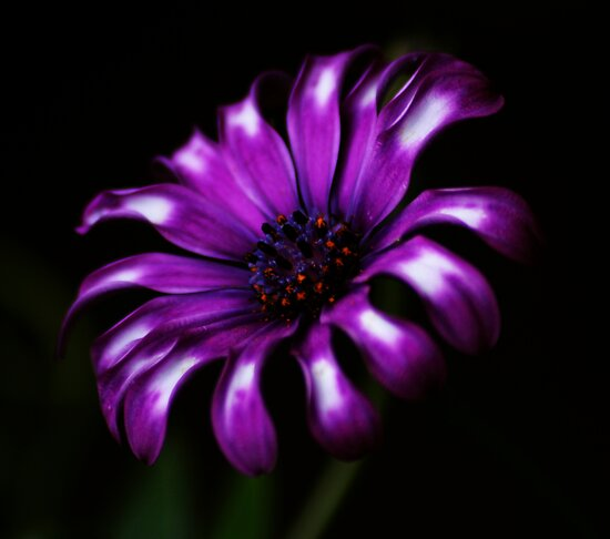Purple Passion by Ingz