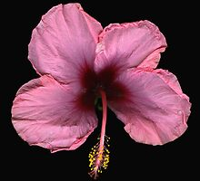 Pink Hibiscus by scankunst