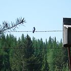 Mountain Bluebird by dixiemorgan