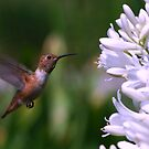 Hummingbird on Flight by saseoche