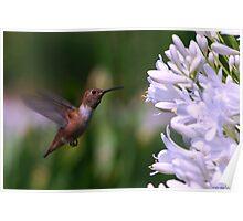 Hummingbird on Flight Poster