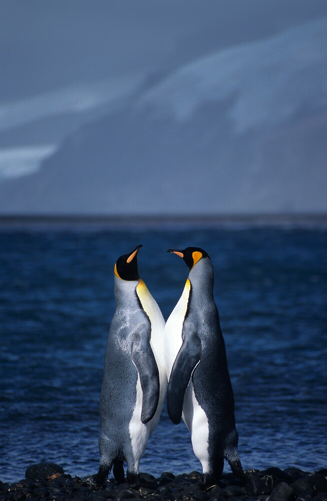 King Penguins, Heard Island by Andy Townsend