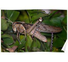 Red Locust Poster