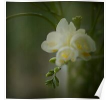 Freesias Poster