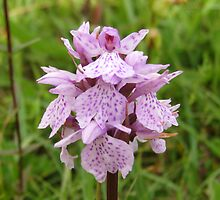 Common Spotted Orchid by John Quinn