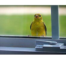 Little Bird on the Window Sill Photographic Print