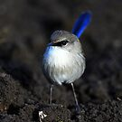 &quot; Superb Fairy -wren &quot; by helmutk