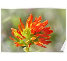 Orange Indian Paintbrush Poster