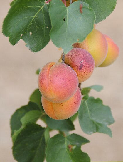 Apricots by Anne Smyth