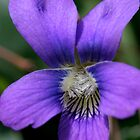 Miniature Spring Violet by Gene Walls