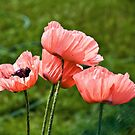 Pink Poppies by PhotosByHealy
