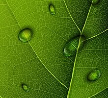 Drops On Green Leaf  by CroDesign