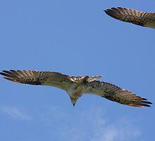 Ospreys by Nicholas Ward